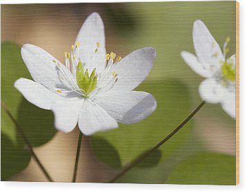 Rue Anemone Wood Print by Melinda Fawver