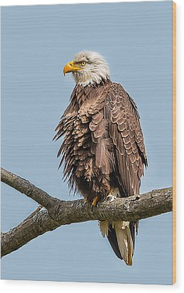 Ruffled Feathers Bald Eagle Wood Print
