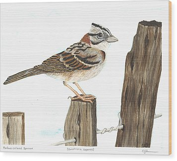 Rufous-collared Sparrow Wood Print by Cindy Hitchcock