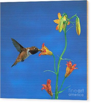 Rufous Hummingbird Wood Print by Anthony Mercieca