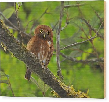 Rufous Morph Costa Rican Pygmy-owl Wood Print by Tony Beck