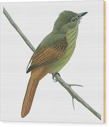 Rufous Tailed Flatbill  Wood Print by Anonymous