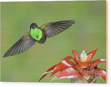 Rufous-tailed Hummer-ecuador Wood Print by Anthony Mercieca