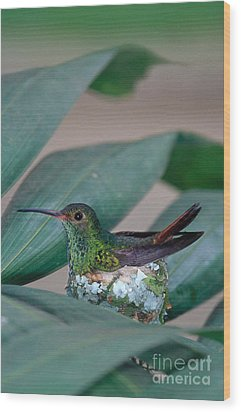 Rufous-tailed Hummingbird On Nest Wood Print by Gregory G Dimijian MD