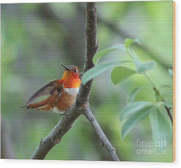Rufus Hummingbird Wood Print