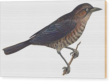 Rusty Blackbird  Wood Print by Anonymous