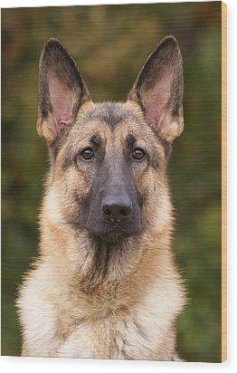 Sable German Shepherd Dog Wood Print by Sandy Keeton
