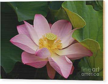 Sacred Lotus Wood Print by Byron Varvarigos