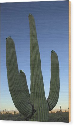 Wood Print featuring the photograph Saguaro Cactus At Sunset by Alan Vance Ley