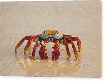 Sally Lightfoot Crab Wood Print by June Jacobsen