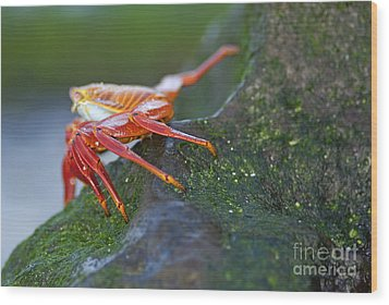 Sally Lightfoot Crab On Rock Wood Print by Sami Sarkis