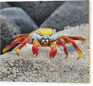 Sally Lightfoot Crab Wood Print