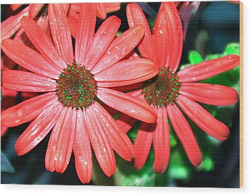 Salmon Daisy Wood Print by Aimee L Maher Photography and Art Visit ALMGallerydotcom