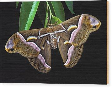 Samia Cynthia Silk Moth Wood Print by Robert Jensen