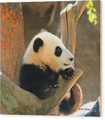 San Diego Zoo Panda Bear Xiao Liwu Wood Print
