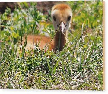 Wood Print featuring the photograph Sandhill Chick 006 by Chris Mercer