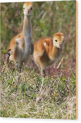 Wood Print featuring the photograph Sandhill Chicks by Chris Mercer