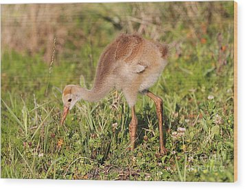 Sandhill Crane Chick Wood Print by Jennifer Zelik