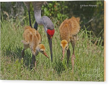 Sandhill Crane Family Feeding Wood Print