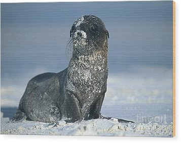 Wood Print featuring the photograph Sandy Sea Lion by Chris Scroggins
