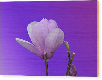 Saucer Magnolia Wood Print by Larry Bishop