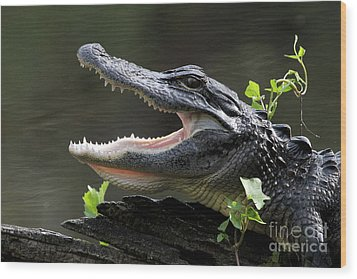 Say Aah - American Alligator Wood Print