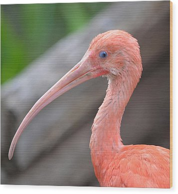 Scarlet Ibis 1 Wood Print by Richard Bryce and Family
