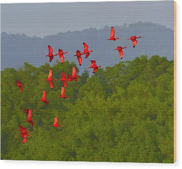 Scarlet Ibis Wood Print by Tony Beck
