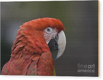 Wood Print featuring the photograph Scarlet Macaw by David Millenheft