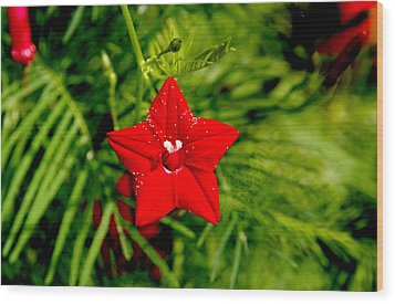 Wood Print featuring the photograph Scarlet Morning Glory - Horizontal by Ramabhadran Thirupattur
