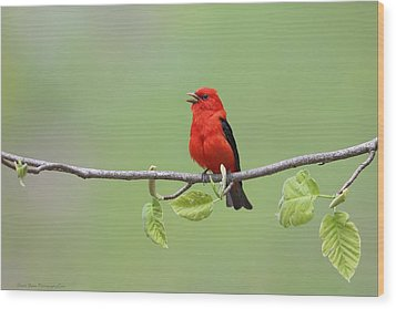 Scarlet Tanager Wood Print
