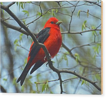 Scarlet Tanager In The Forest Wood Print by Rodney Campbell