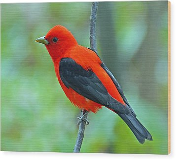 Scarlet Tanager Wood Print by Rodney Campbell