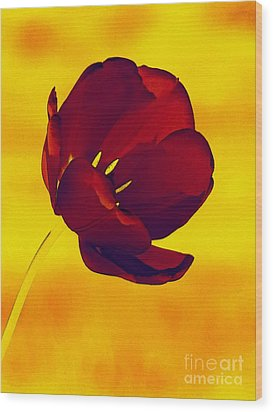 Scarlet Tulip At Sunset Wood Print