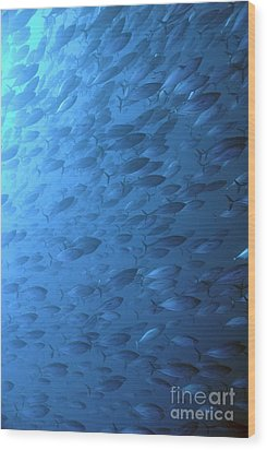 School Of Indo-pacifico Bonito Fishes Wood Print by Sami Sarkis