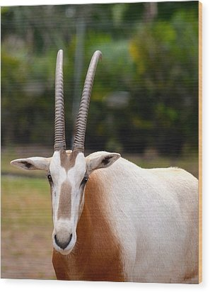 Scimitar Horned Oryx 2 Wood Print by Richard Bryce and Family