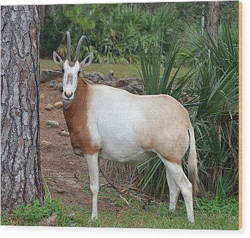 Scimitar Horned Oryx Wood Print by Richard Bryce and Family