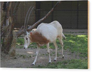 Scimitar Horned Oryz - National Zoo - 01132 Wood Print by DC Photographer