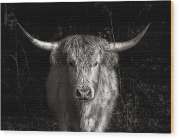 Scottish Highlander Bull Wood Print by Robert FERD Frank