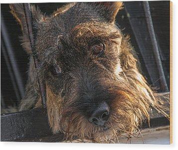 Scottish Terrier Closeup Wood Print by Jess Kraft