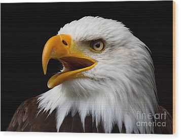 Screaming Bald Eagle Wood Print