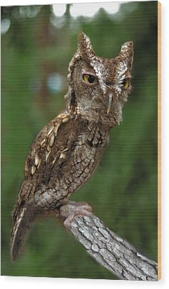 Screech Owl. Seminole County. Wood Print