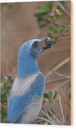Wood Print featuring the photograph Scrub Jay With Acorn by Paul Rebmann