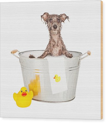Scruffy Terrier In A Bath Tub Wood Print