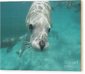 Sea Lion Wood Print by Crystal Beckmann
