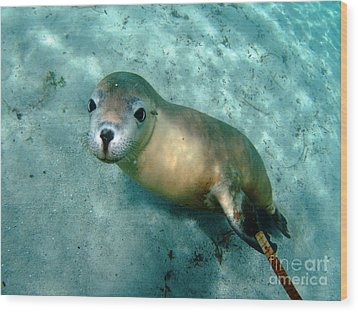 Sea Lion On The Seafloor Wood Print by Crystal Beckmann