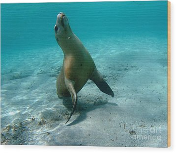 Sea Lion Play Time Wood Print by Crystal Beckmann