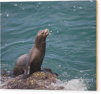 Sea Lion Posing Wood Print