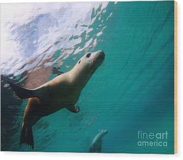 Sea Lion Under Lights Wood Print by Crystal Beckmann