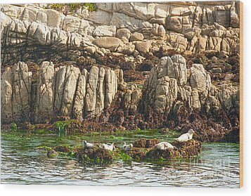 Sea Lions In Monterey Bay Wood Print by Artist and Photographer Laura Wrede